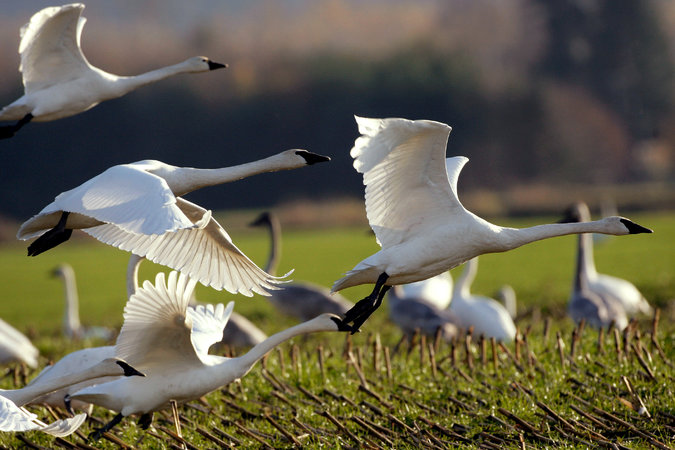Trumpeter swans are among the species that, by 2050, are not expected to be able to live in most of their current territory, according to a report. Credit Elaine Thompson/Associated Press