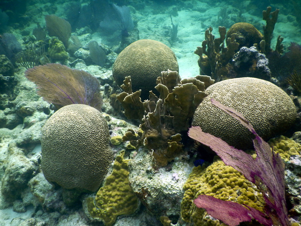 Healthy coral at the Blue Hole in Lighthouse Reef Atoll off the coast of Belize.