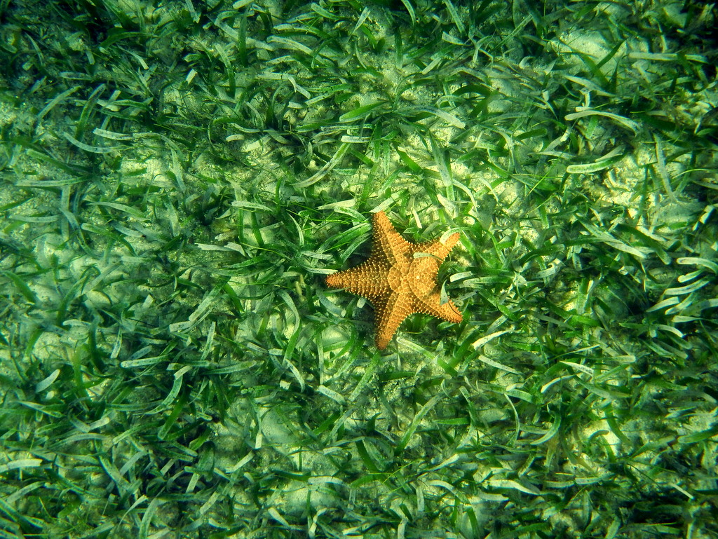 Starfish in the sea grass. Photo by Justin Catanoso
