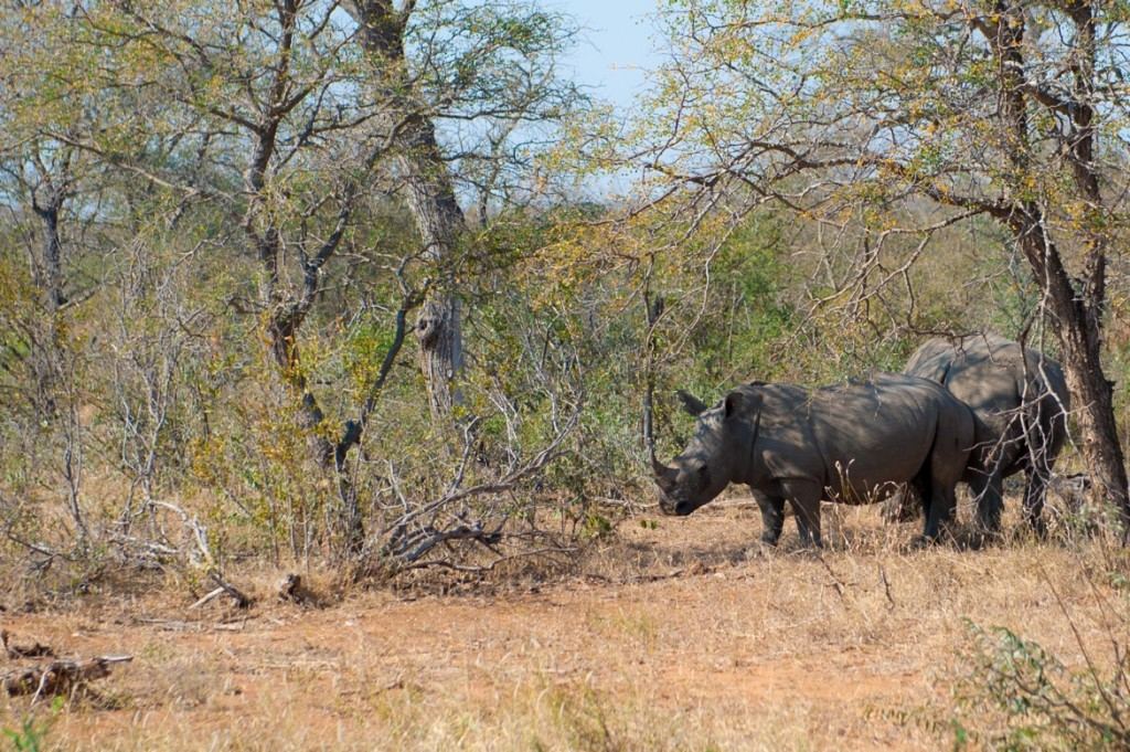 On average, three rhinos a day are poached from the highly protected Kruger National Park in South Africa. Photo by Bobby Amoroso